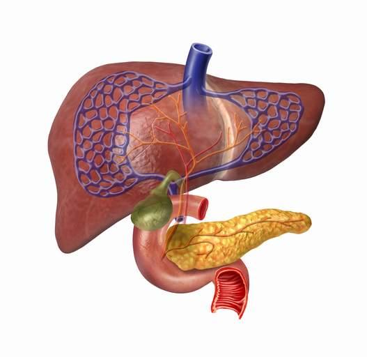 El hígado y el páncreas